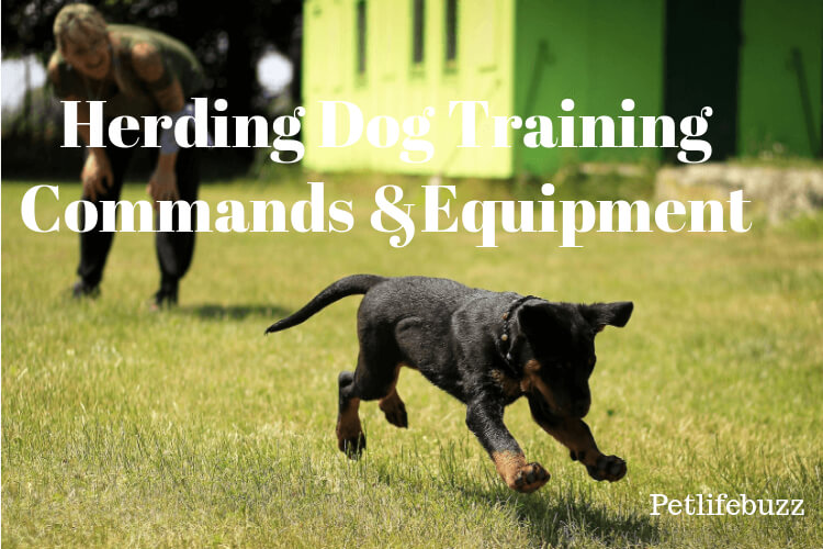 Best Herding Dog Training Equipment & Commands