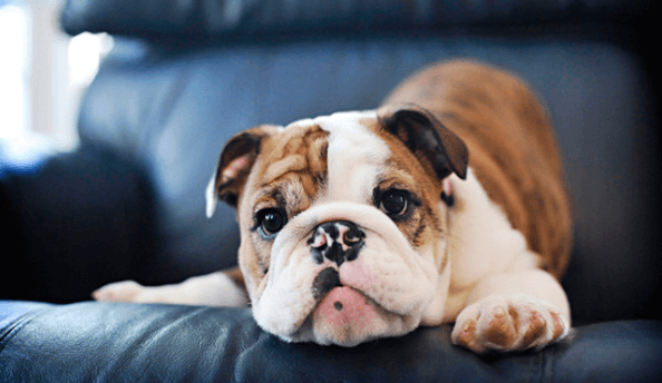 5 Best Dog Foods for English Bulldogs 2019 (Updated)