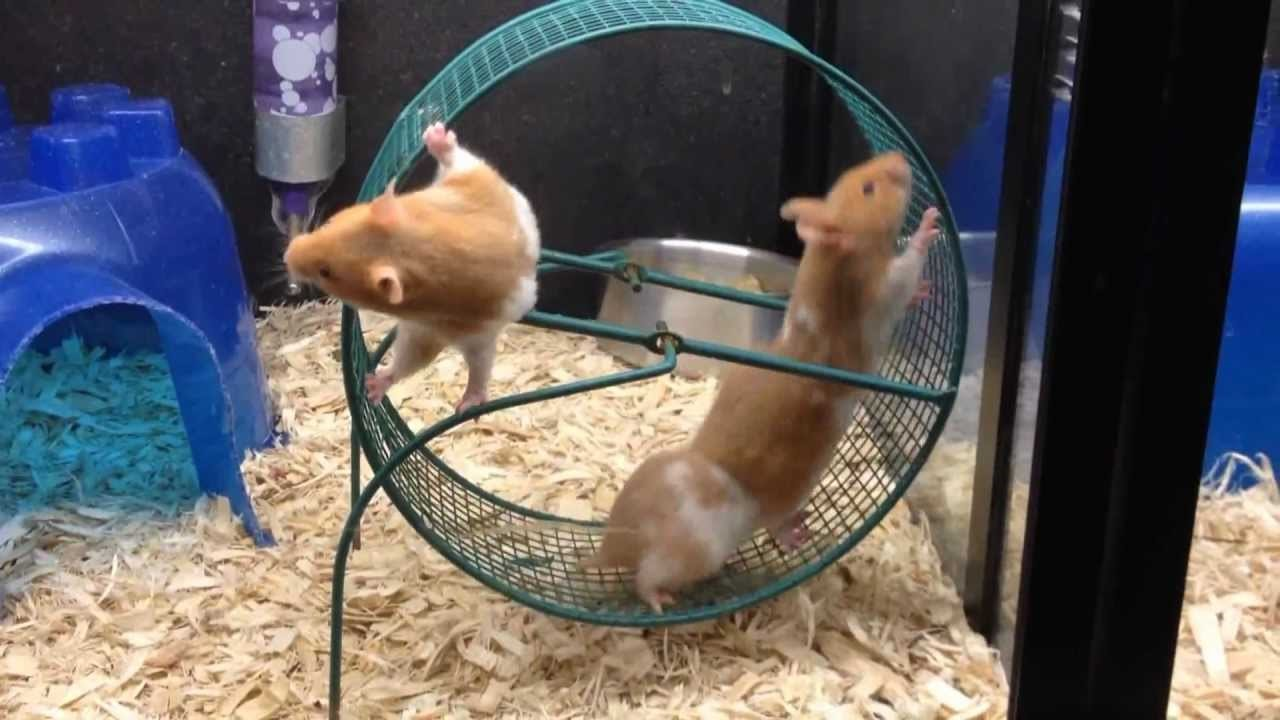 What Do Hamsters Need? (Full to Entertainer)