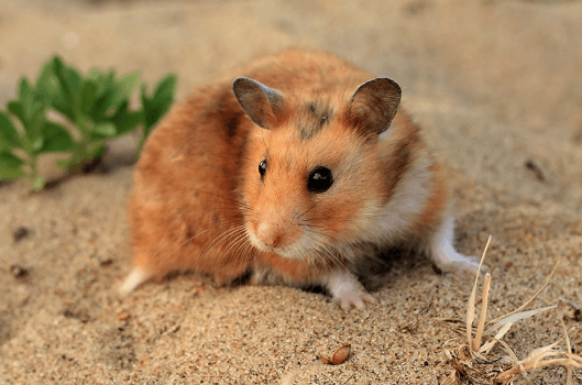 How to Tell If You Have a Sick Hamster