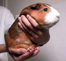 Picking up a guinea pig