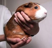Picking up a guinea pig