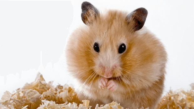 Take Care of a Hamster