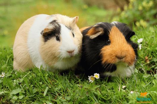 Take care of a Guinea pig