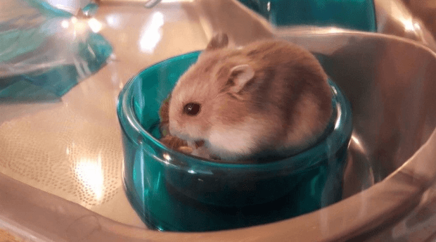 what do hamsters need