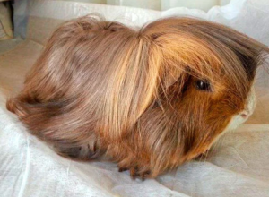 A Peruvian guinea pig - The best ice-breaker in your house