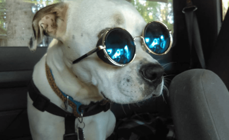 Stylish Dog