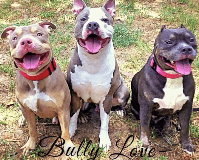 group of pitbulls