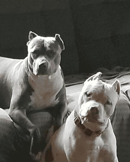 white american pitbulls