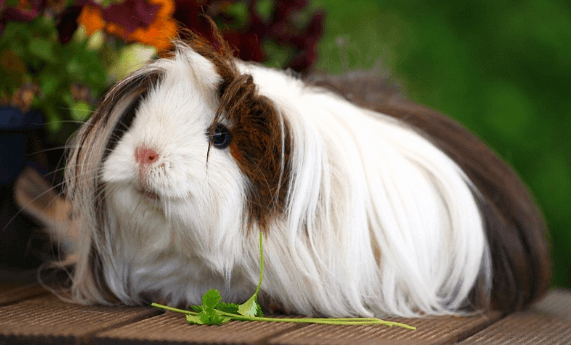 Peruvian Guinea Pig: House Pet for the Dedicated | Care Guide, Tips