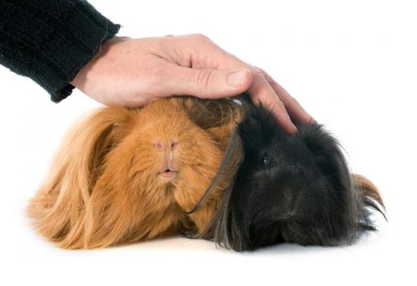 Peruvian guinea pigs love touching
