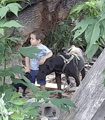 large pitbull images