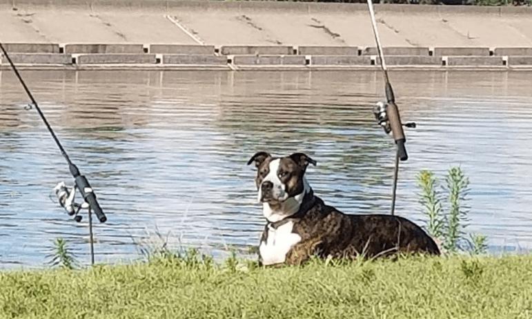 large black pitull dog