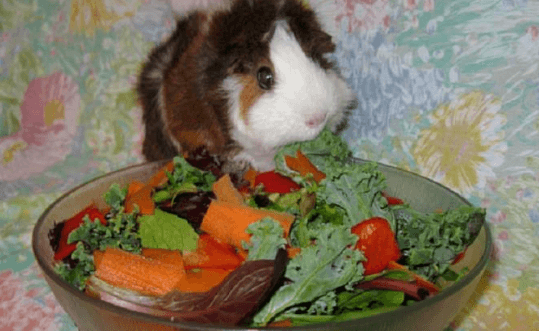 Best Food for Guinea Pigs