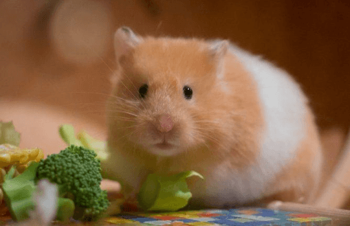 25 Best Hamster Foods in 2019 | Guide & Reviews Included