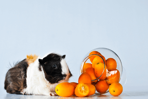 guinea pig eating fruits