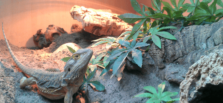 Best Bearded Dragon Enclosures