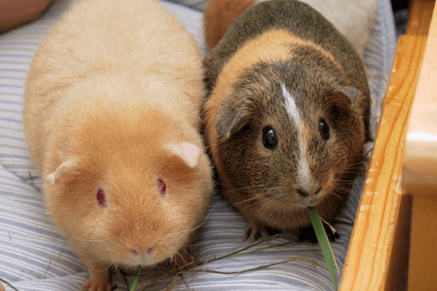 Guinea Pig staying