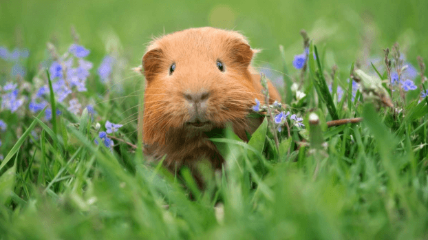 Guinea Pigs' Diets and Personalities