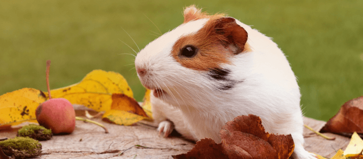 Guinea pig playing