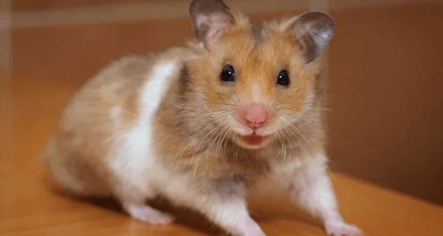 Understand Hamsters with Pieces of Advice from Veterinarians