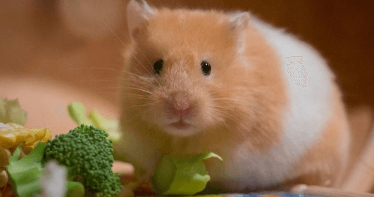 hamster healthy food