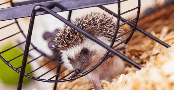 25 Best Hedgehog Cages 2019 (Buying Guide & Reviews & FAQs)