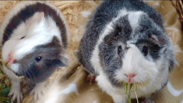 FAQs About Guinea Pig Cages