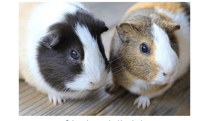 Guinea Pigs Bedding FAQs
