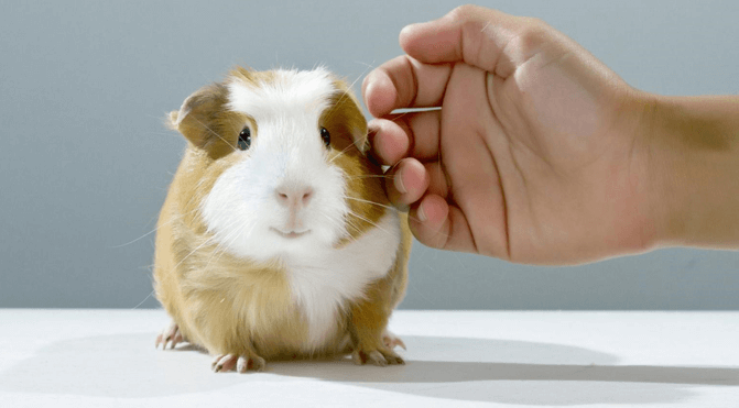 Knowledge About Guinea Pigs