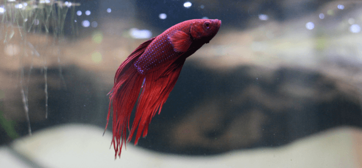 betta fish care