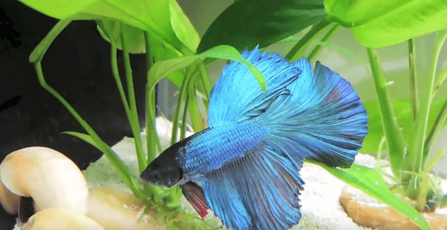 happy betta fish vs sad betta fish