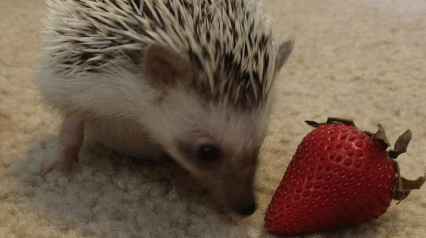 Fruits are beneficial to hedgehogs