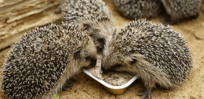Hedgehog Feeding Schedule