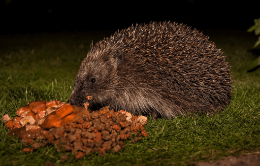 Hedgehog Nutritional Requirements