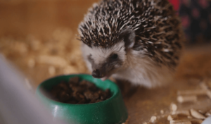 best hedgehog food