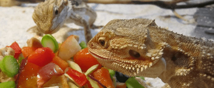 What Insects Do Bearded Dragons Eat