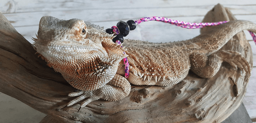 Bearded Dragon Leash and Harness