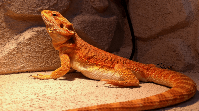 Bearded dragon sand