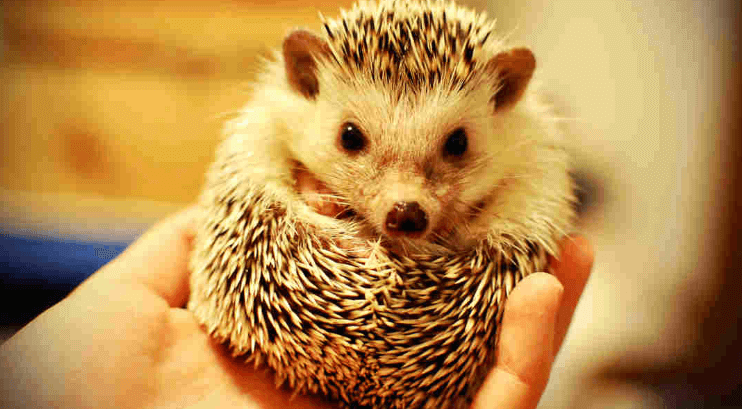 FAQs Best Hedgehog Bedding