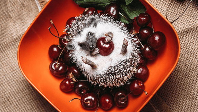 Berries are very good for hedgehogs