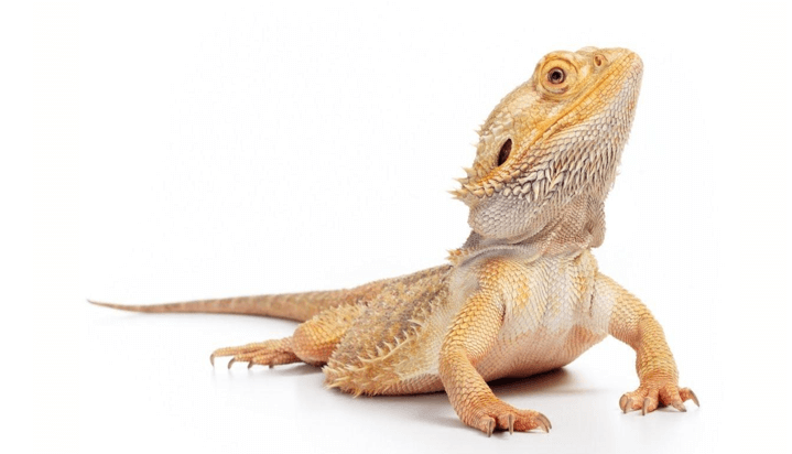 How long can a bearded dragon survive