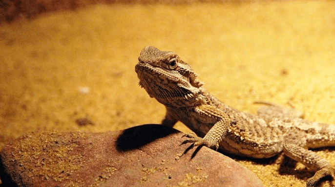 17 Best Bearded Dragon Sands 2019 (Reviews and Guides)