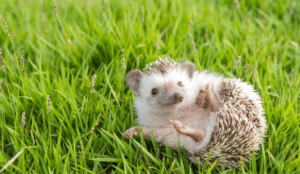 A happy and healthy hedgehog can live for 7-8 years