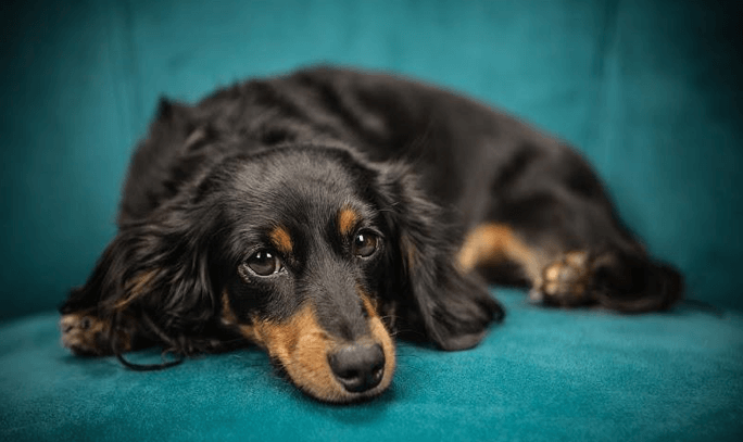 Do black scabs affect dogs