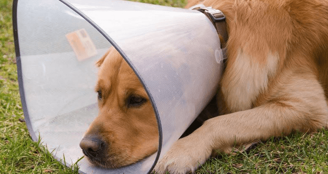 Use a dog collar to prevent dogs from scratching