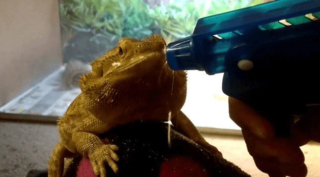 Use a sprayer for Bearded dragon
