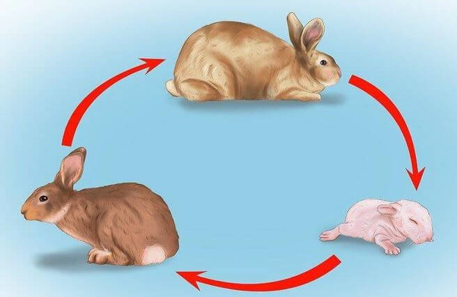 Life span of Rabbit