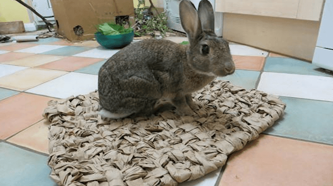 Rabbit on a mat