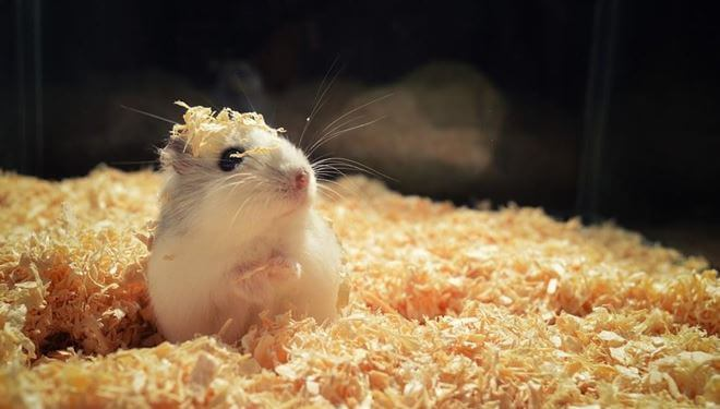 best best bedding for your hamster